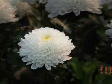 九月初九重阳节早安心语:重阳节逢双九,与君共进菊花酒