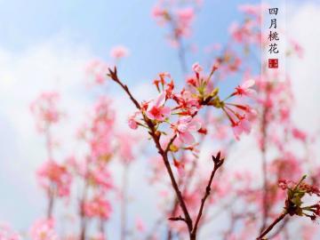 踏春赏桃花的唯美句子