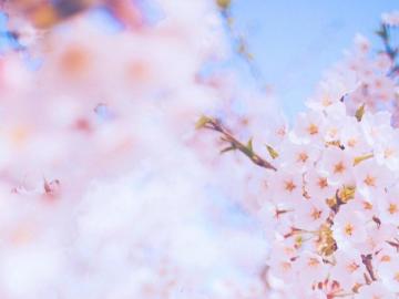 陷落美好,满溢温柔的最美樱花文案为唯美句子
