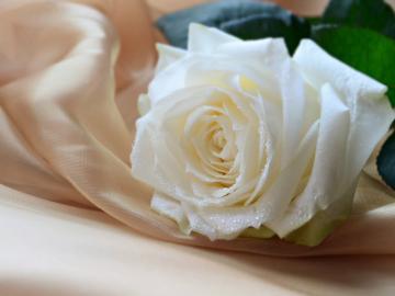 各色玫瑰花的花语