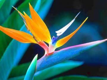 天堂鸟的花语详细解说
