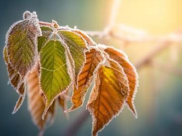 二十四节气之霜降谚语:霜降不摘柿,硬柿变软柿