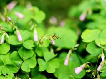 四叶草的花语寓意和传说