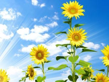 向日葵唯美花语忠诚的爱