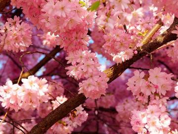 樱花的详细花语和象征