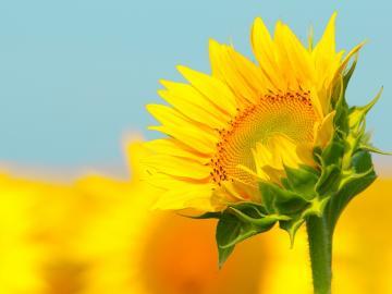 愿你如向日葵般,永远面朝阳光的暖心早安心语