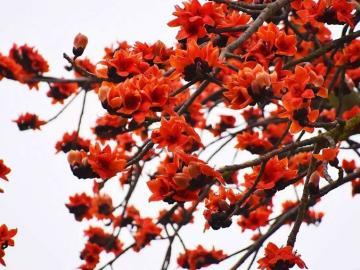 木棉花花语和象征意义