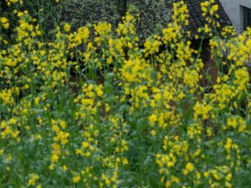 看油菜花的心情说说 金花摇曳,是时候去找春天啦