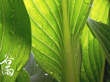 谷雨时节唯美诗句 白云峰下两枪新,腻绿长鲜谷雨春