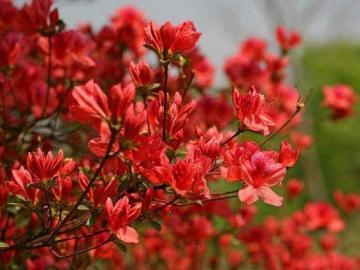 杜鹃花的花语传说