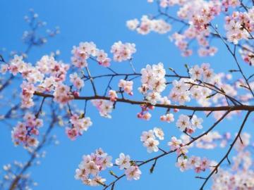 有桃花运的心情句子 红鸾星动,人面桃花