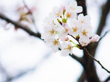 花瓣小尾巴的樱花符号 ❀